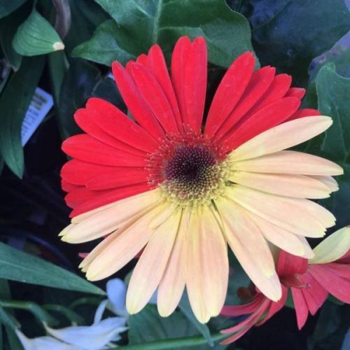Царство цветов. Удивительная гербера.