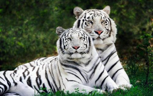 priroda-zhivotnye-tigry-belyj-tigr