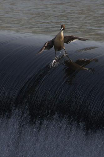 Крутая утка!
